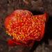 Haemanthus - Photo (c) Mike Lusk,  זכויות יוצרים חלקיות (CC BY-NC)
