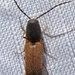 Dolerosomus - Photo (c) K Schneider, some rights reserved (CC BY-NC)