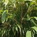 Pseudosasa japonica - Photo (c) harum.koh, algunos derechos reservados (CC BY-SA)