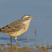 Water Pipit - Photo (c) Paul Cools, some rights reserved (CC BY-NC)