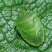 Cuspicona simplex - Photo (c) Uwe Schneehagen, algunos derechos reservados (CC BY-SA)