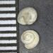 Pleuropoma - Photo (c) Phil Liff-Grieff, algunos derechos reservados (CC BY-NC-SA)