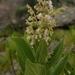 Rabdosiella leemannii - Photo (c) strumaria1, algunos derechos reservados (CC BY-NC), uploaded by Domitilla Raimondo