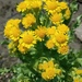 Marsh Fleawort - Photo (c) Chantel, some rights reserved (CC BY-NC)
