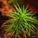 Polytrichum pallidisetum - Photo (c) Jason Michael Crockwell, algunos derechos reservados (CC BY-NC-ND)
