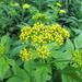 Thaspium barbinode - Photo (c) BlueRidgeKitties, algunos derechos reservados (CC BY-NC-SA)