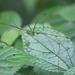 Baculomia - Photo (c) Les Day, algunos derechos reservados (CC BY-NC)