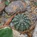 Echinocereus pulchellus - Photo (c) Consejo Potosino de Ciencia y Tecnología, alguns direitos reservados (CC BY-NC)