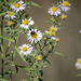 Pacific Aster - Photo (c) Erica Fleniken, some rights reserved (CC BY-NC)