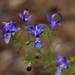 Trichostema setaceum - Photo (c) Alvin Diamond, algunos derechos reservados (CC BY-NC)