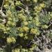 Artemisia spinescens - Photo (c) R.J. Adams, algunos derechos reservados (CC BY-NC)