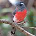 Granatelo Yucateco - Photo (c) angel_castillo_birdingtours, algunos derechos reservados (CC BY-NC)