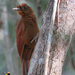 Ruddy Woodcreeper - Photo (c) angel_castillo_birdingtours, some rights reserved (CC BY-NC)