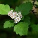 Crataegus sanguinea - Photo (c) Evgeny Boginsky,  זכויות יוצרים חלקיות (CC BY-NC)