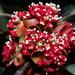Lindera megaphylla - Photo (c) 葉子, osa oikeuksista pidätetään (CC BY-NC-ND)