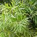 Afrocarpus gracilior - Photo (c) BJ Stacey, μερικά δικαιώματα διατηρούνται (CC BY-NC)