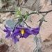 Solanum parishii - Photo (c) josuecampos, algunos derechos reservados (CC BY-NC)