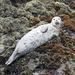 Harbor Seal - Photo (c) Robin Gwen Agarwal, some rights reserved (CC BY-NC)