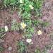 Astranthium ciliatum - Photo (c) Joe Ledvina, μερικά δικαιώματα διατηρούνται (CC BY-NC)