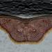 Chrysocraspeda sanguinea - Photo (c) Vijay Anand Ismavel, osa oikeuksista pidätetään (CC BY-NC-SA), uploaded by Dr. Vijay Anand Ismavel MS MCh