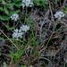 Allium canadense mobilense - Photo (c) Alvin Diamond, algunos derechos reservados (CC BY-NC)