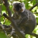 Sanford's Brown Lemur - Photo (c) saturnindi, some rights reserved (CC BY-NC)