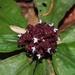 Floscopa robusta - Photo (c) Lena Struwe, algunos derechos reservados (CC BY-NC)