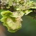 Coenogonium linkii - Photo (c) Lena Struwe, algunos derechos reservados (CC BY-NC)
