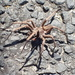 Vagrant Spiders - Photo (c) Danielle, some rights reserved (CC BY-NC)