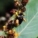 Epicharis flava - Photo (c) Douglas, algunos derechos reservados (CC BY)
