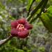 Euonymus occidentalis - Photo (c) randomtruth, alguns direitos reservados (CC BY-NC-SA)