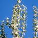 Populus nigra italica - Photo (c) Serge M. Appolonov, algunos derechos reservados (CC BY-NC)