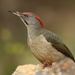 Iberian Green Woodpecker - Photo (c) Agustín Povedano, some rights reserved (CC BY-NC-SA)