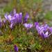 Gentianella cerastioides - Photo (c) greglasley,  זכויות יוצרים חלקיות (CC BY-NC), uploaded by Greg Lasley