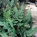 Oeosporangium persica - Photo (c) ramazan_murtazaliev, some rights reserved (CC BY-NC)