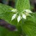 Lithospermum helleri - Photo (c) Bill Dodd, μερικά δικαιώματα διατηρούνται (CC BY-NC-ND)