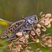 Decticus verrucivorus - Photo (c) Иван Тисленко, μερικά δικαιώματα διατηρούνται (CC BY-NC)