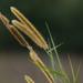 Pennisetum purpureum - Photo (c) Liu JimFood,  זכויות יוצרים חלקיות (CC BY-NC)