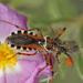 Rhynocoris punctiventris - Photo (c) jkt, μερικά δικαιώματα διατηρούνται (CC BY-NC)