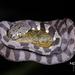 Caracolera Neotropical - Photo (c) MaoMorning Yip, algunos derechos reservados (CC BY-NC)