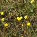Ranunculus propinquus - Photo (c) Никифорова Валерия,  זכויות יוצרים חלקיות (CC BY-NC)