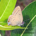 Edwards' Hairstreak - Photo (c) Greg Schechter, some rights reserved (CC BY)