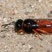 Odynerus cinnabarinus - Photo (c) Tony Iwane,  זכויות יוצרים חלקיות (CC BY-NC)