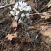 Noccaea fendleri - Photo (c) Cathy Bell, algunos derechos reservados (CC BY-NC-ND)