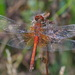 Yellow-winged Darter - Photo (c) Иван Тисленко, some rights reserved (CC BY-NC)