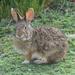 Conejo Tropical - Photo (c) Damon Tighe, algunos derechos reservados (CC BY-NC)