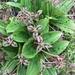 Scoliopus bigelovii - Photo (c) cailanaceae, algunos derechos reservados (CC BY-NC)