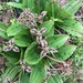 Scoliopus bigelovii - Photo (c) cailanaceae,  זכויות יוצרים חלקיות (CC BY-NC)