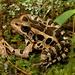 Rana de Pantano - Photo (c) J.D. Willson, algunos derechos reservados (CC BY-NC)