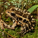 Lithobates palustris - Photo (c) J.D. Willson,  זכויות יוצרים חלקיות (CC BY-NC)